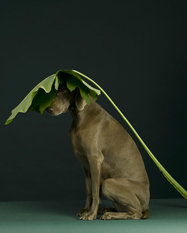 william-wegman-dog-portraits-4 (1)